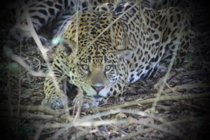 Jaguar at Caiman Lodge by Steve Ice
